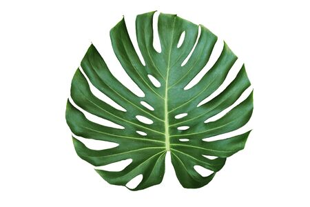 Jungle monstera leaf isolated on white background
