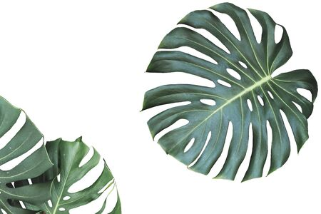 Two tropical jungle monstera leaves isolated on white background 写真素材