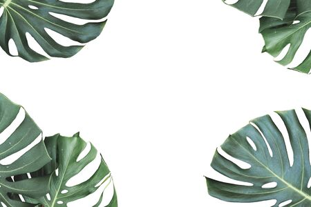 Tropical jungle monstera leaves isolated on white background