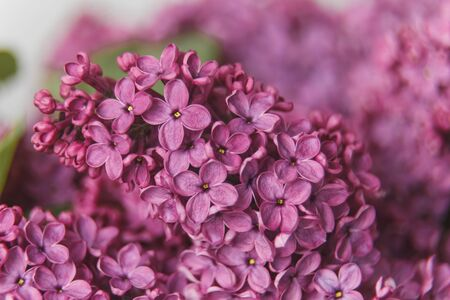 Macro image of spring lilac violet flowers, abstract soft floral background.