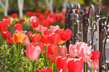 Tulip flower with green leaf background in tulip field in spring day for postcard beauty decoration and agriculture concept design.