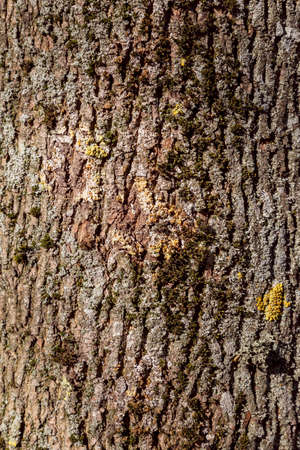Tree bark texture poplar. Seamless Tileable Texture.