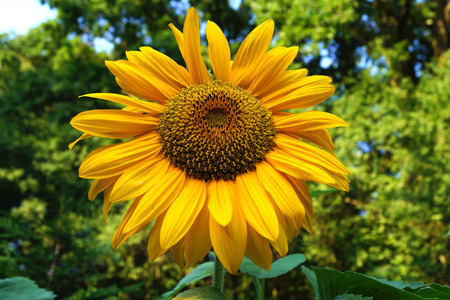Sunflower flower on a green background with leaves, visible sky scraps Stock Photo