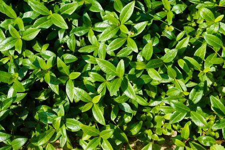 Vinca minor commonly known as vinca or periwinkle is a popular ground cover plant
