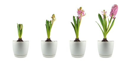 Cuatro etapas de desarrollo vegetal. Jacinto desde los botones florales hasta la floración tardía. Panorama. Foto de archivo