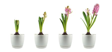 Quatre étapes de développement de la plante. Jacinthe des boutons floraux à la floraison tardive. Panorama. Banque d'images