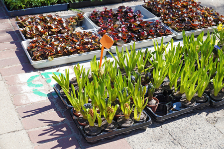 Spring flowers are waiting for their buyer. Hyacinths and begonias in small pots.