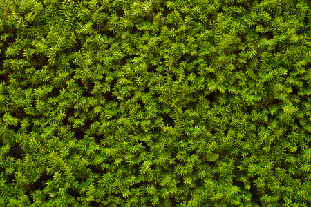 An image of a very decorative wall consisting of thousands of green yew branches. Hedge.