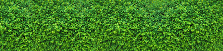 Panorama of the green wall consisting of thousands of small leaves. A carpet of greenery.