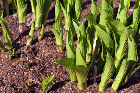 Hosta is a genus of plants commonly known as hostas, plantain lilies (in Britain) and occasionally by the Japanese name giboshi. Spring.