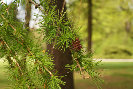 New needles appear on the branches of the larch. Spring in the park.