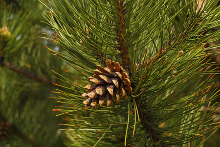 Pine cone surrounded by needles, black pine. This tree is a raw material of essential oils and other substances used in medicine and cosmetics. Reklamní fotografie
