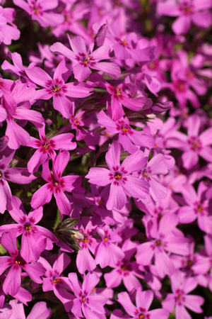 Hundreds of small pink flowers. Phlox subulata: creeping phlox, moss phlox, moss pink, or mountain phlox is a species of flowering plant creating flowery rugs.