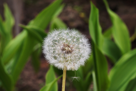 Spring. Dandelion in the garden. Seed dispersal phase. Reklamní fotografie