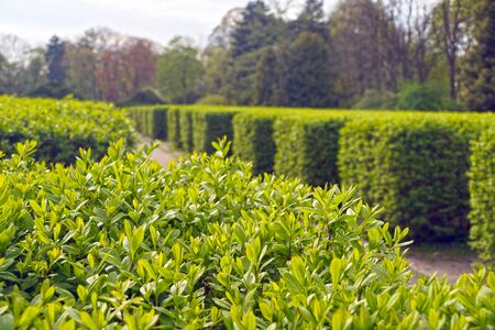 A classic garden with rows of hedges. Spring lush vegetation.