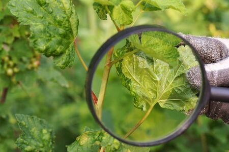 Currant leaves damaged by the invasion of aphids. The gardener watches through the magnifying glass the damage to the plant.