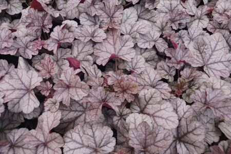 Garden shop. Heucherella, an extremely popular, evergreen garden plant. Heucherella and Tiarella crossword. It occurs in many colors and shapes of leaves.