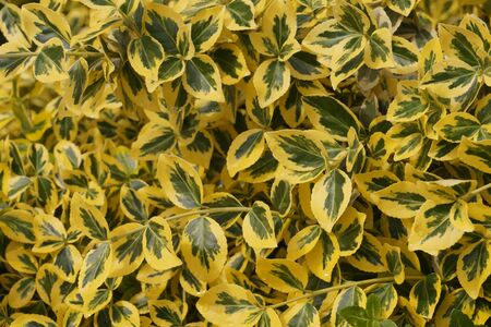 Euonymus fortunei -common names spindle or Fortunes spindle, winter creeper or wintercreeper. Decorative winter-resistant plant.