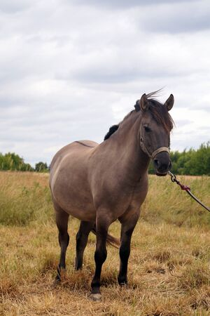 The color of the coat is called: Buckskin.  Horse in the pasture. Reklamní fotografie