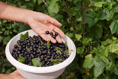 Collecting blackcurrant from the bushes. Work in the garden. Reklamní fotografie