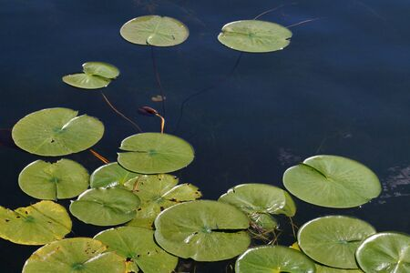 Water surface covered with leaves. Water lilies. Stock fotó