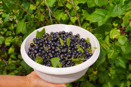 Work in the garden. Collecting blackcurrant from the bushes.