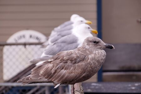Birds are waiting on the waterfront for the opportunity to eat leftovers from the restaurant. Gulls in Seattle.