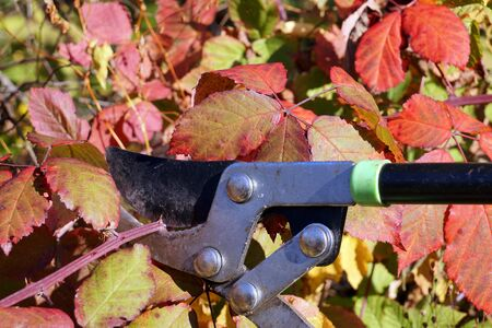 Autumn garden cleaning. Pruning overgrown branches of blackberry.