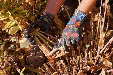 Autumn gardening. Pruning stonecrops (sedum) after flowering.