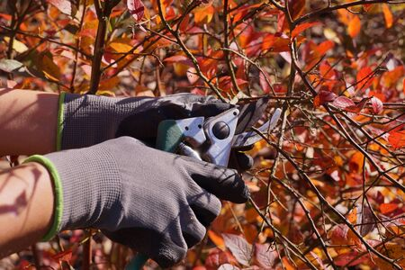 Cutting blueberry branches, forming a bush. Autumn garden cleaning.