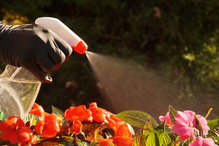 Hand washer in action. Fighting diseases and insects that attack plants with spraying.