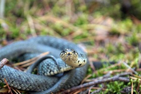 Grass snake in a defensive position. In the forest.