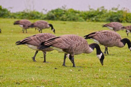 Wild birds in the urban space. Canadian Geese (Branta canadensis) grazing at Gas Works Park in Seattle. Stock Photo