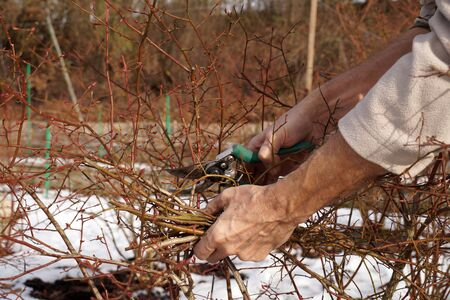 Sanitary and shaping cut bush, time of implementation: early spring and late autumn. A pruning shears in the gardeners hand. Stock Photo