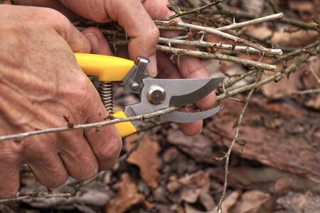 Pruning shears in the gardeners hand. Early spring and late autumn are the time to prun the bushes in the garden.
