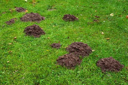 Lawn damaged by a mole. Soil mounds indicate the presence of the mammal's underground passages. Stok Fotoğraf