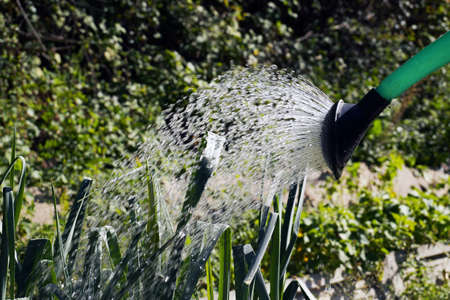 Watering crops with a watering can.Vegetable garden in summer.