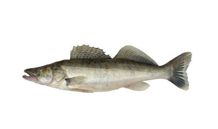 Photo of a fish on a white background. Zander or pike perch (Lucioperca lucioperca) is larger cousin of american walleye. Archivio Fotografico