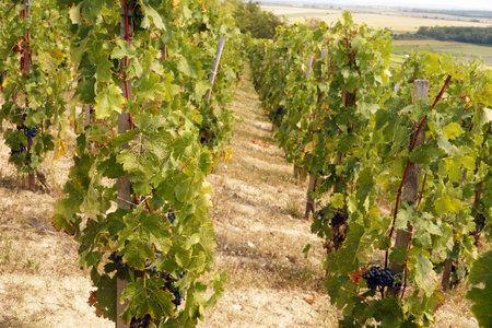 Vineyard on the southern slope of Szarsomlyo Hill. Hungarian vineyards. Siklos town area. Standard-Bild