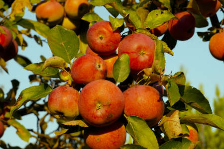 Organic apples. Fruit without chemical spraying. Orchard.