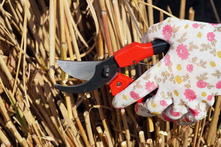 Cutting the remains of last year's plants with a pruner. Early spring garden work.