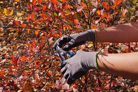 Cutting blueberry branches, forming a bush. Autumn garden cleaning. Standard-Bild