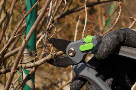 Sanitary and shrub-shaping branch pruning. Early spring garden work.