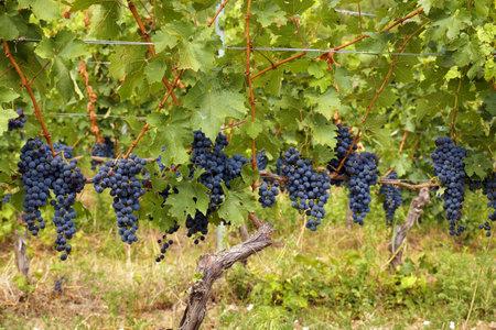 Hungarian vineyards. Beautiful harvest in the vineyard, huge clusters of blue fruit on the shrubs.
