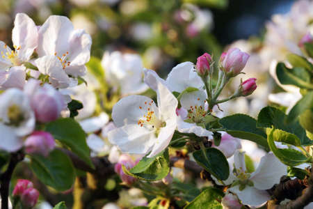 Orchard in the spring. Blooming apple trees, buds and fully developed flowers. Standard-Bild