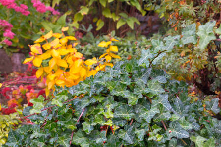 Intense colors of autumn plants. English ivy in the foreground. Autumn garden.
