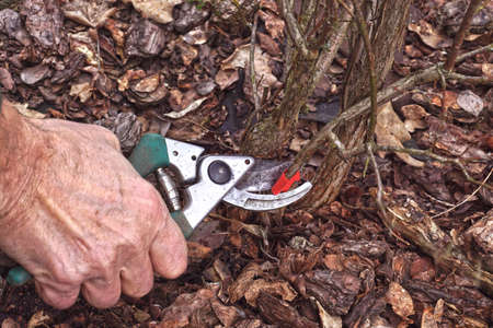 Pruning the blueberry bush (Vaccinium corymbosum). Pruning old branches previously marked with red foil. Early spring. Standard-Bild