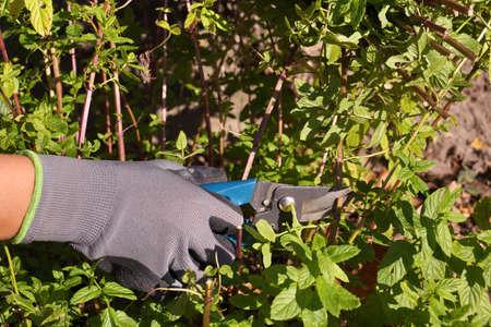 Pruning peppermint (Mentha piperita) stalks. Autumn gardening.