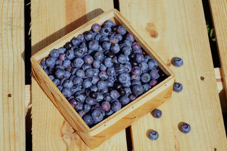 A basket filled with ripe fruit. A collection of American blueberries (Vaccinium corymbosum L.). Standard-Bild