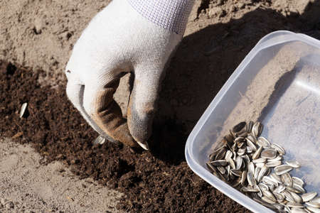 Spring works in the garden. Sowing of sunflower seeds.